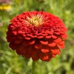 Red zinnia — Stock Photo #21406963
