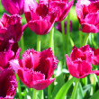 Crimson tulips — Stock Photo