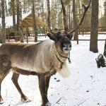 Northern deer in spring — Stock Photo