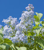 Blue lilac — Stock Photo