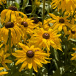 Rudbeckia (cone flower) — Stock Photo