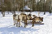 马车与鹿 — 图库照片