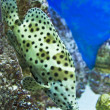Panther grouper — Stock Photo