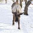 Deer with one horn — Stock Photo #33057205