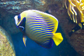 Fish-angel (fish-emperor) — Stockfoto