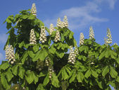 Flowers of white chestnut — Стоковое фото