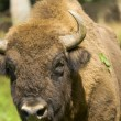 Bison bonasus — Stock Photo