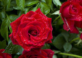 Two red roses with drops of water — Stock Photo