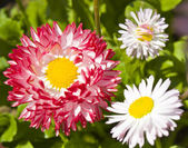 Daisies pink and white — Stock Photo