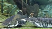 Fishes Sheatfish and Pseudoplatistoma — Stock Photo