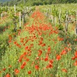 Stock Photo: Red poppies with vineyard