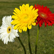 Three gerbera - white, yellow and red — Stock Photo