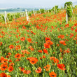 Red poppies and vineyard — Stock Photo