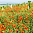 Stock Photo: Red poppies and vineyard