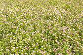 Meadow of clover — Stock Photo