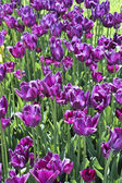 Violet tulips — Stock Photo