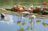 Blanco y Rosa flamingo — Photo