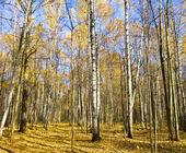 Autumn birch forest — Stock Photo