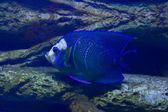 Fish-angel (fish-emperor) — Foto Stock