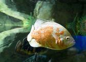 Balık astrnonotus ocellatus — Stok fotoğraf