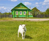 Little goat and village house — Stock Photo