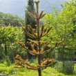 Chile araucaria — Stock Photo