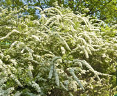 White spirea — Stock Photo
