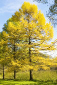 Autumn landscape with larches — Stock fotografie