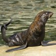 Photo: Northern fur seal