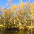 Autumn in birch forest — Stock Photo