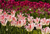 Crimson and pink tulips — Foto Stock