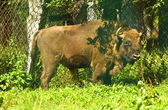 Bison bonasus — Stock Photo