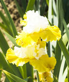 Two irises of white and yellow colours — Stock Photo