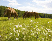 Horses on meadow with camomiles — Stock Photo