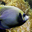 Постер, плакат: Fish angel Fish emperor and actinia Sea anemone