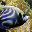 ������, ������: Fish angel Fish emperor and actinia Sea anemone