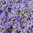Ageratum houstonianum — Stock Photo #44132127