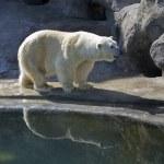 White polar bear — Stock Photo #6506272