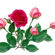 Roses bouqet - Stock Photo
