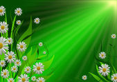 Daisy flower background — Stock Photo