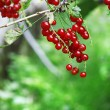 Red currant berries hang on bush — Stock Photo