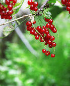 Red currant berries hang on bush — 图库照片