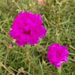 Stock Photo: Portulaca