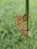 Empty cicada shell — Stock Photo