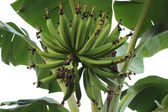 Bunch of green young bananas — Stock Photo