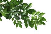 Gałąź drzewa-pole chiny — Zdjęcie stockowe