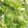 Kaffir Lime fruits on tree — Stock Photo
