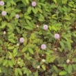 Stock Photo: Sensitive plant (Mimospudica)
