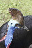 Cassowary (Casuarius) — Stock Photo