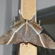Moth spread wings - Stock Photo